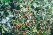 ต้นกาแฟที่ปลูกแบบดูแลป่า